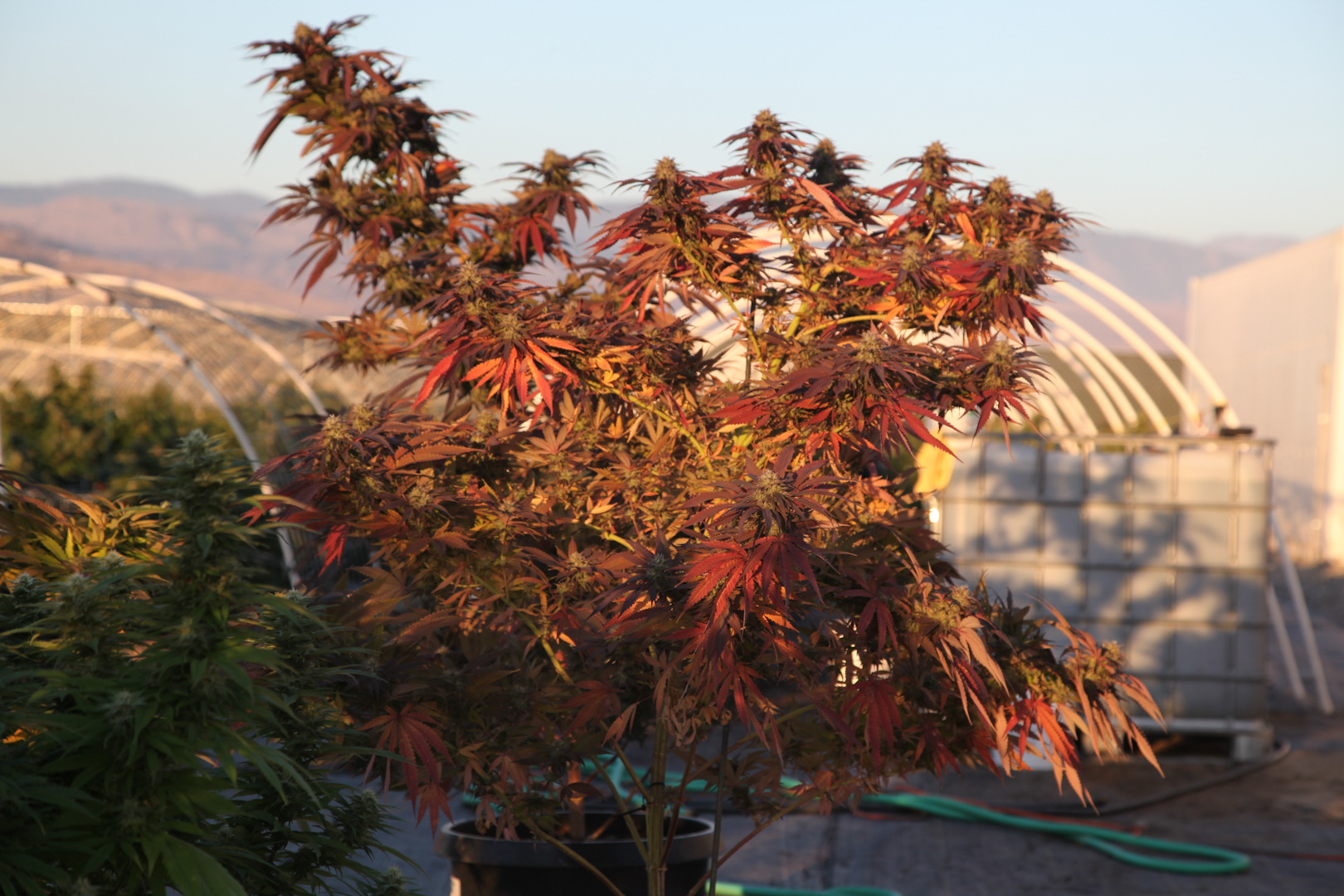 a sungrown botanical wonder.  This plant emerged with red, gold and green leaves.