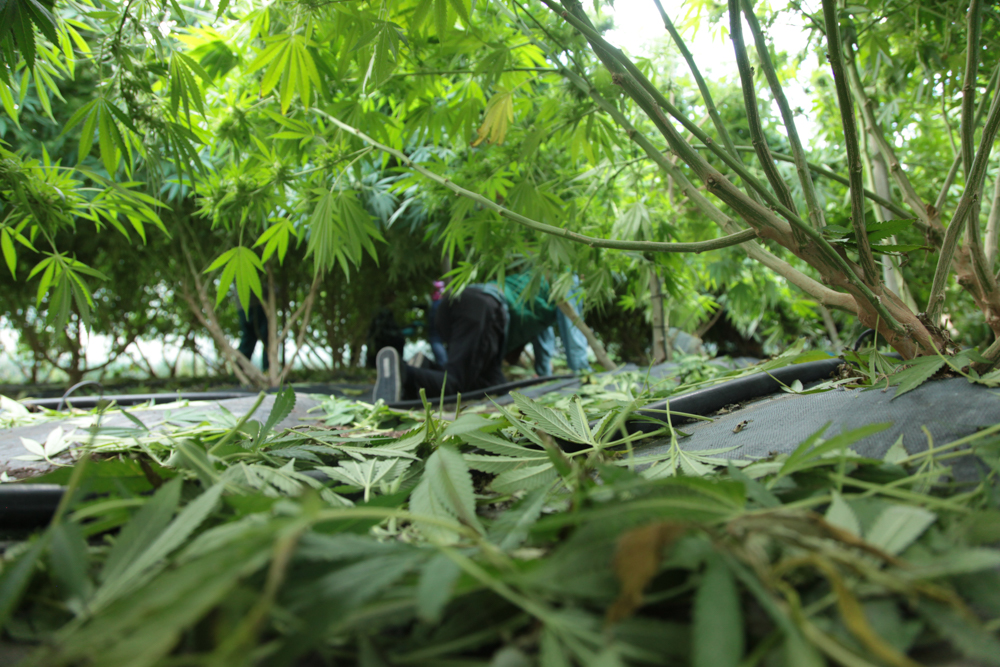 Cannabis understory.  State-Legal Washington, Autumn 2014