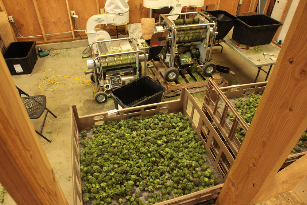 Cannabis processing at a sun-grown tier 3 production farm in North Central Washington, Autumn 2014