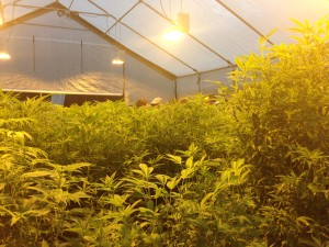 Hybrid Greenhouse structure alive with December trichome-harvest plants in Santa Rosa, California.